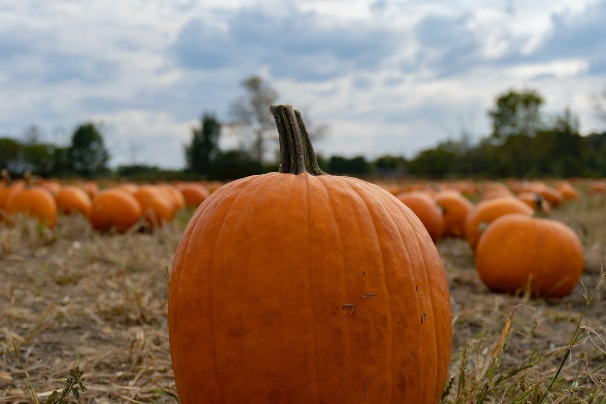 The 10 Best Farms To Visit For Pumpkin Picking In New Jersey 2020 The Digest Magazine